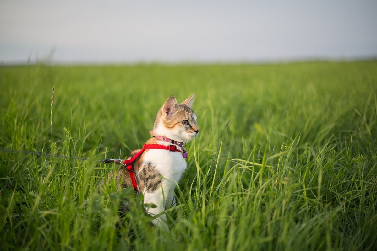 Keeping your cat on a leash and harness can keep them safe while outside.