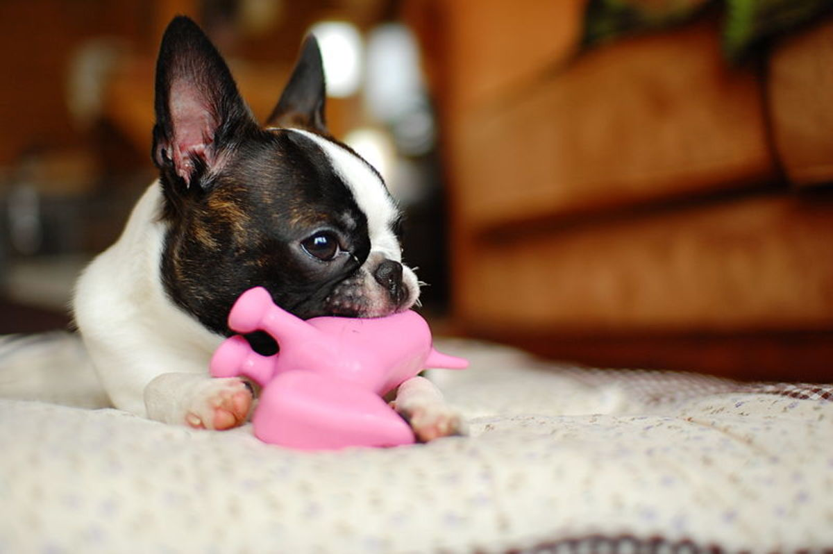 Bringing along a few of your dog's familiar toys will make her more comfortable in the dog hotel or dog camp you choose