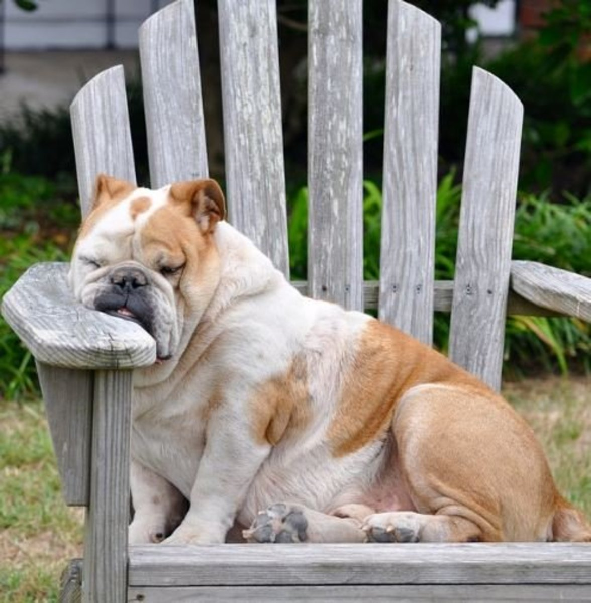 Some brachycephalic dog breeds are prone to snoring.