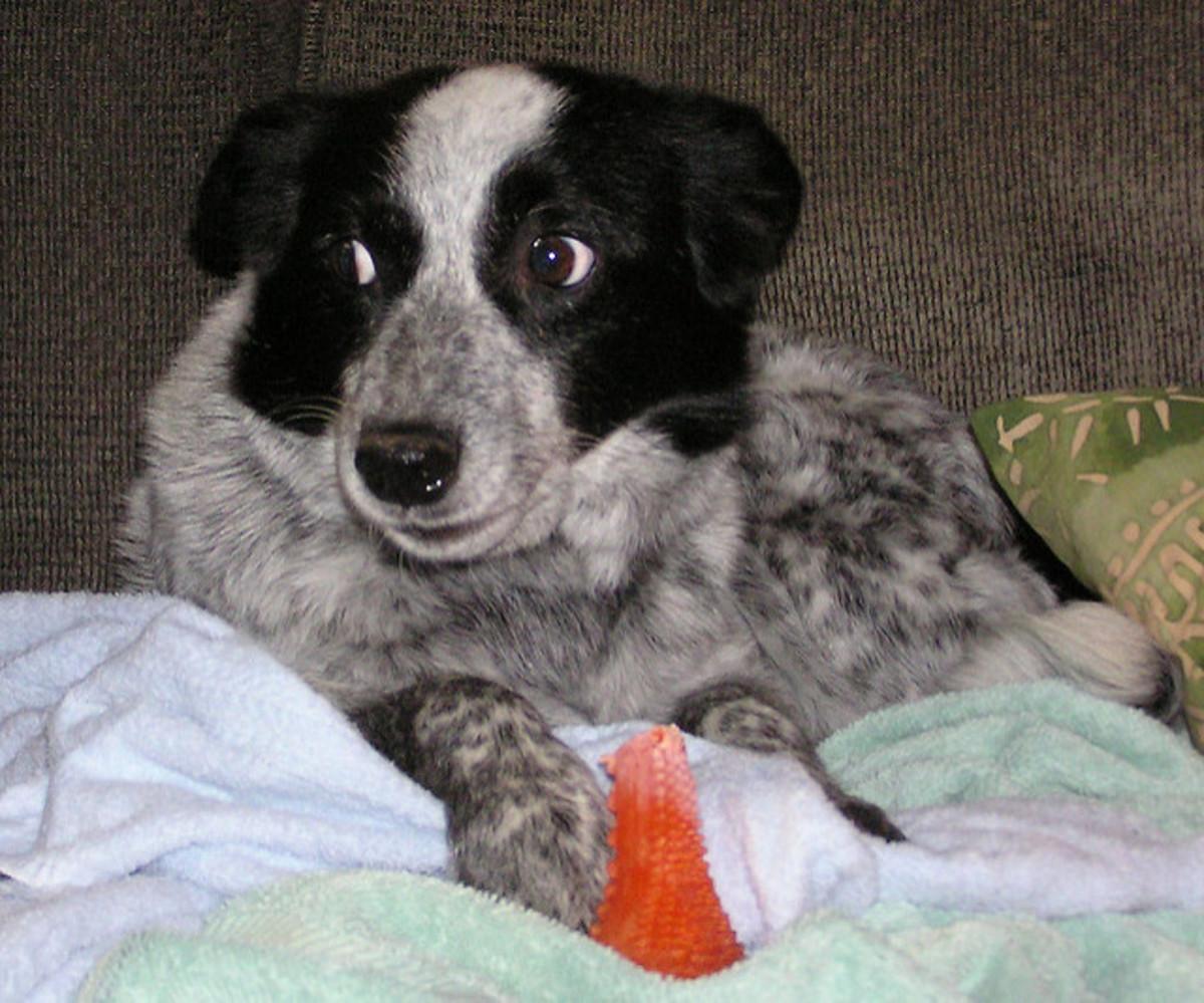 Korkunç köpekler, barınak personeli tarafından zaten tespit edilmiş olabilir.