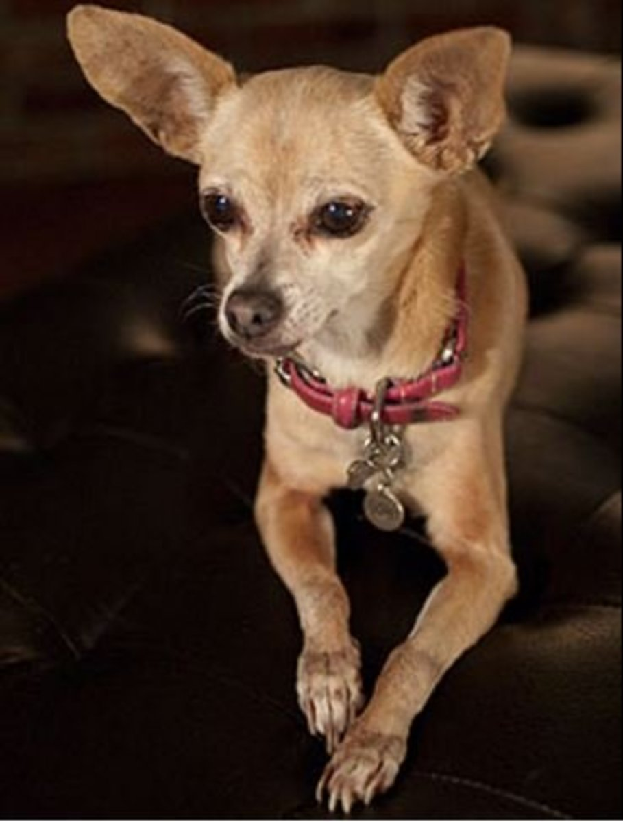 Gidget, the famous Taco Bell Chihuahua, was a deer head.