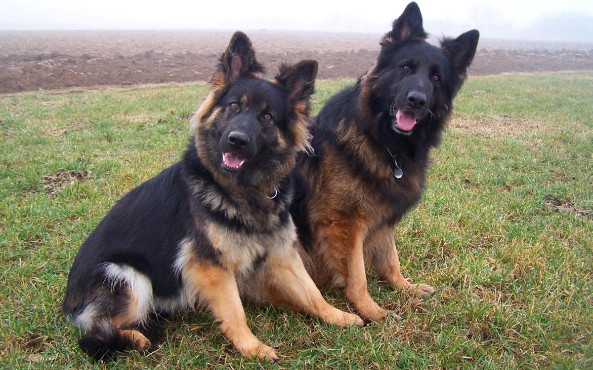 The German Shepherd was first developed in Germany in 1899.