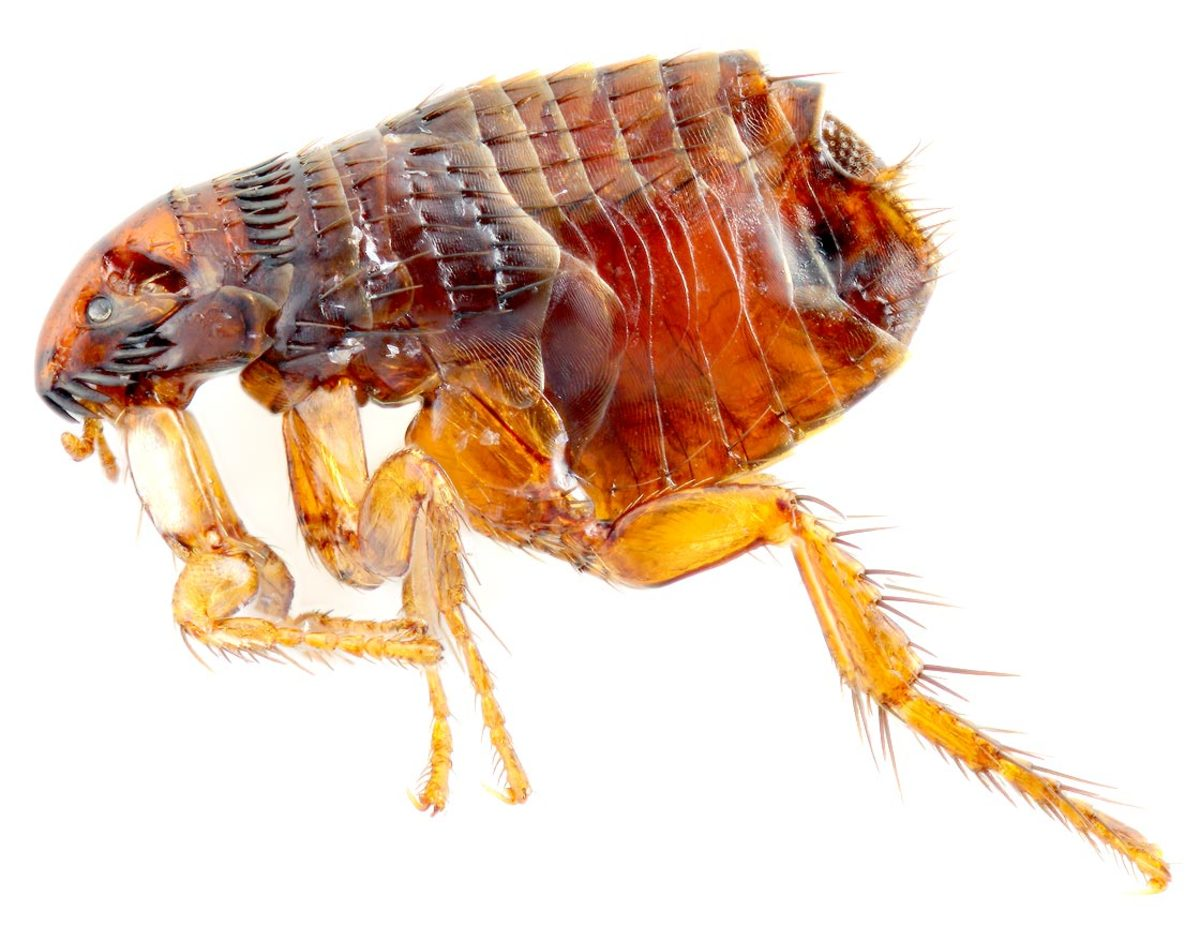 Does Cheristin For Cats Kill Fleas