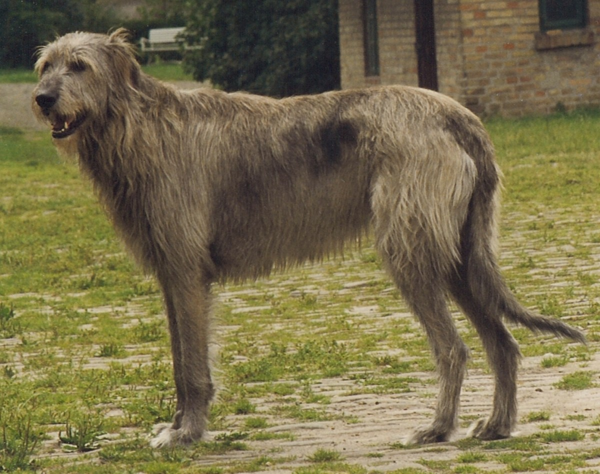 Irish Wolfhounds are among the oldest breeds of domesticated dog.