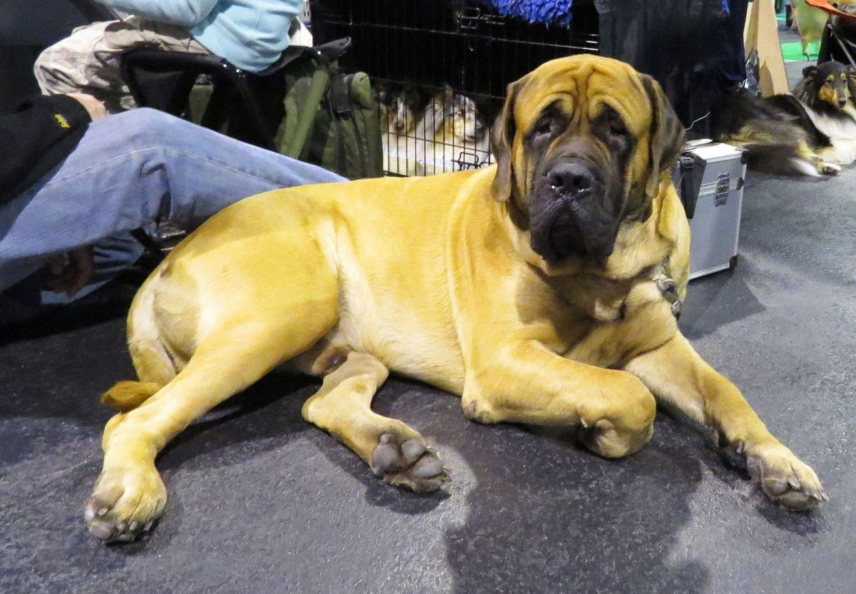 Mastiffs are known to love playing fetch.