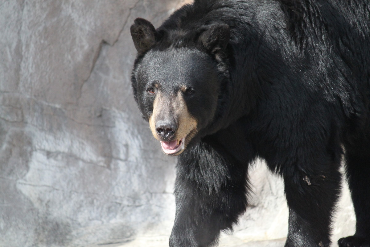 Various species of bear live in the United States, and can threaten chicken coops and other fowl.