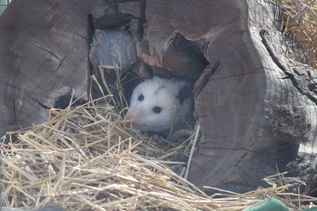 Animals like opossums, skunks, and rodents enjoy eggs, and will raid a chicken's nest if they can reach it.