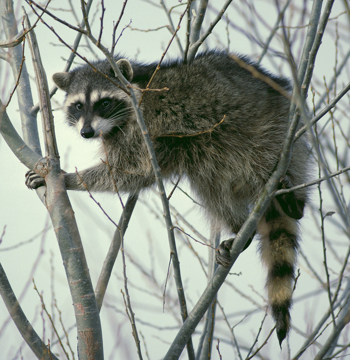 Raccoons are clever predators that may prove difficult to keep out of your coop and run.