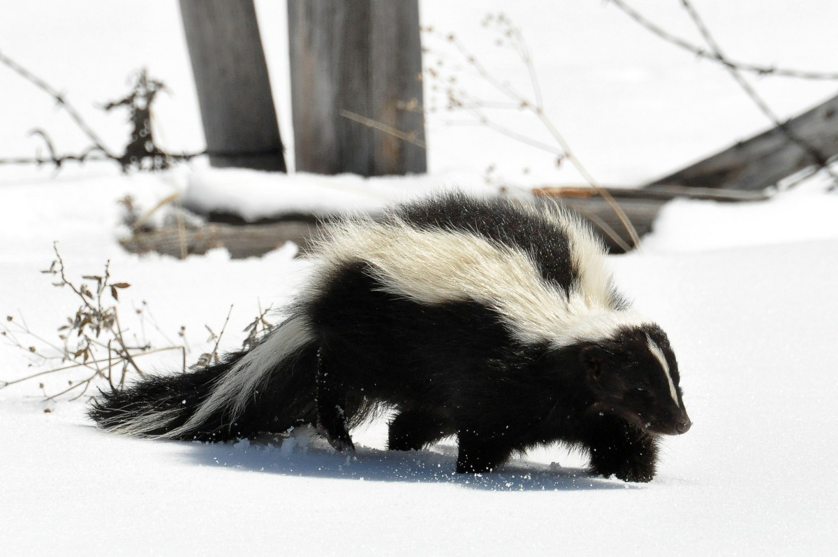 Striped skunks are common in the USA, but rarely predate on adult chickens.