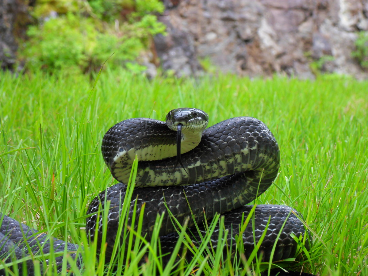 Although they may eat eggs or chicks, and may threaten adult chickens, overall most snake are beneficial and should be left in peace if possible.