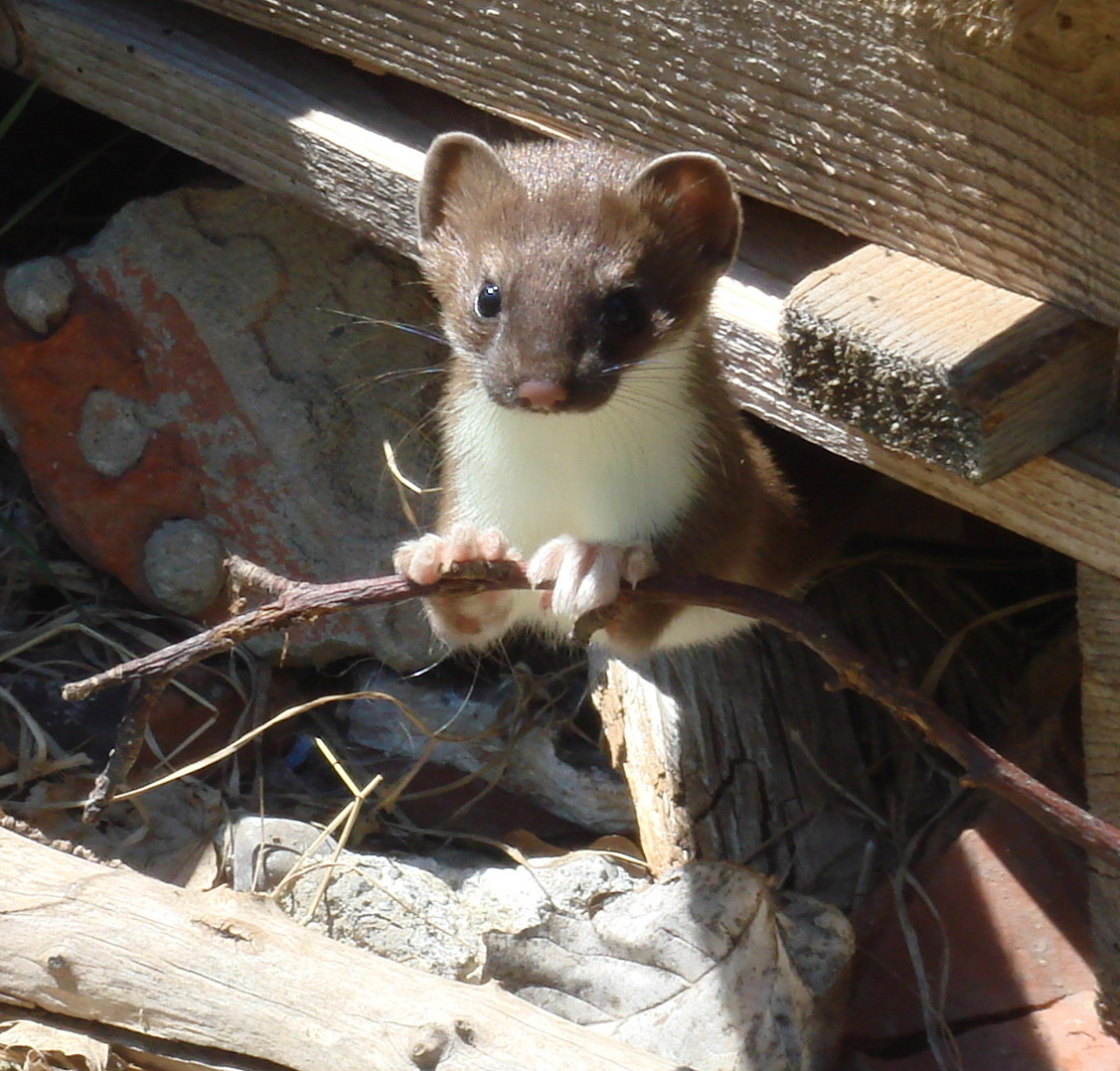 A least weasel, one of many weasel species you may encounter in North America.