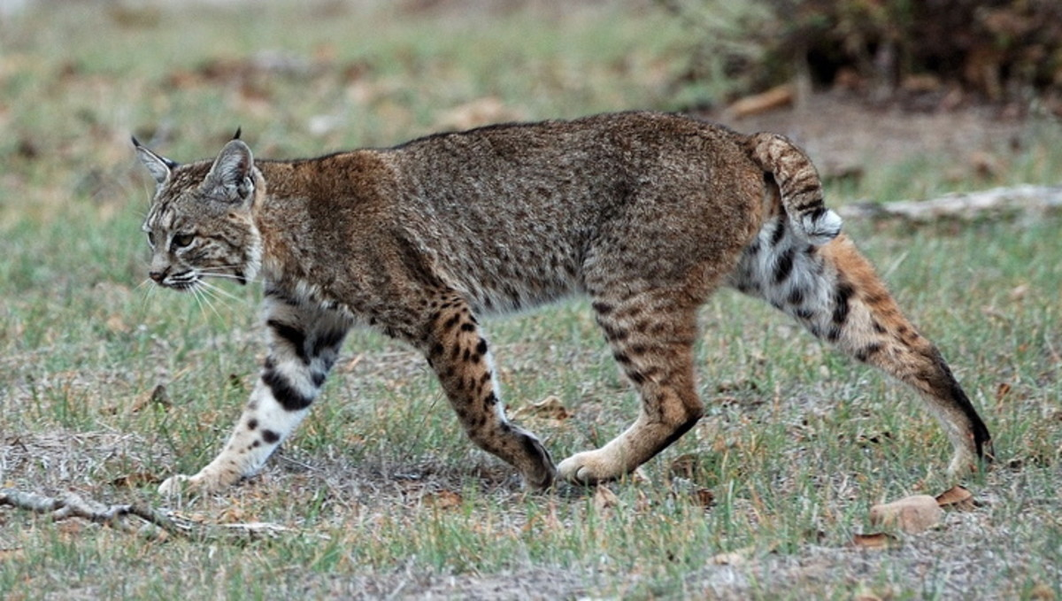 Bobcats are a large feline species native the USA, and occasional chicken predator