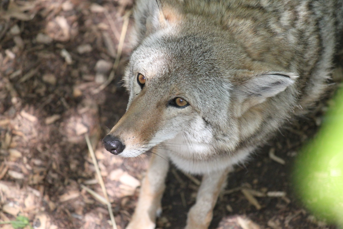 Coyotes usually avoid human confrontation, but can be difficult predators to address.