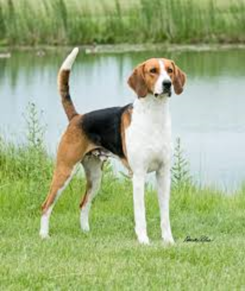 American Foxhound/ English Foxhound