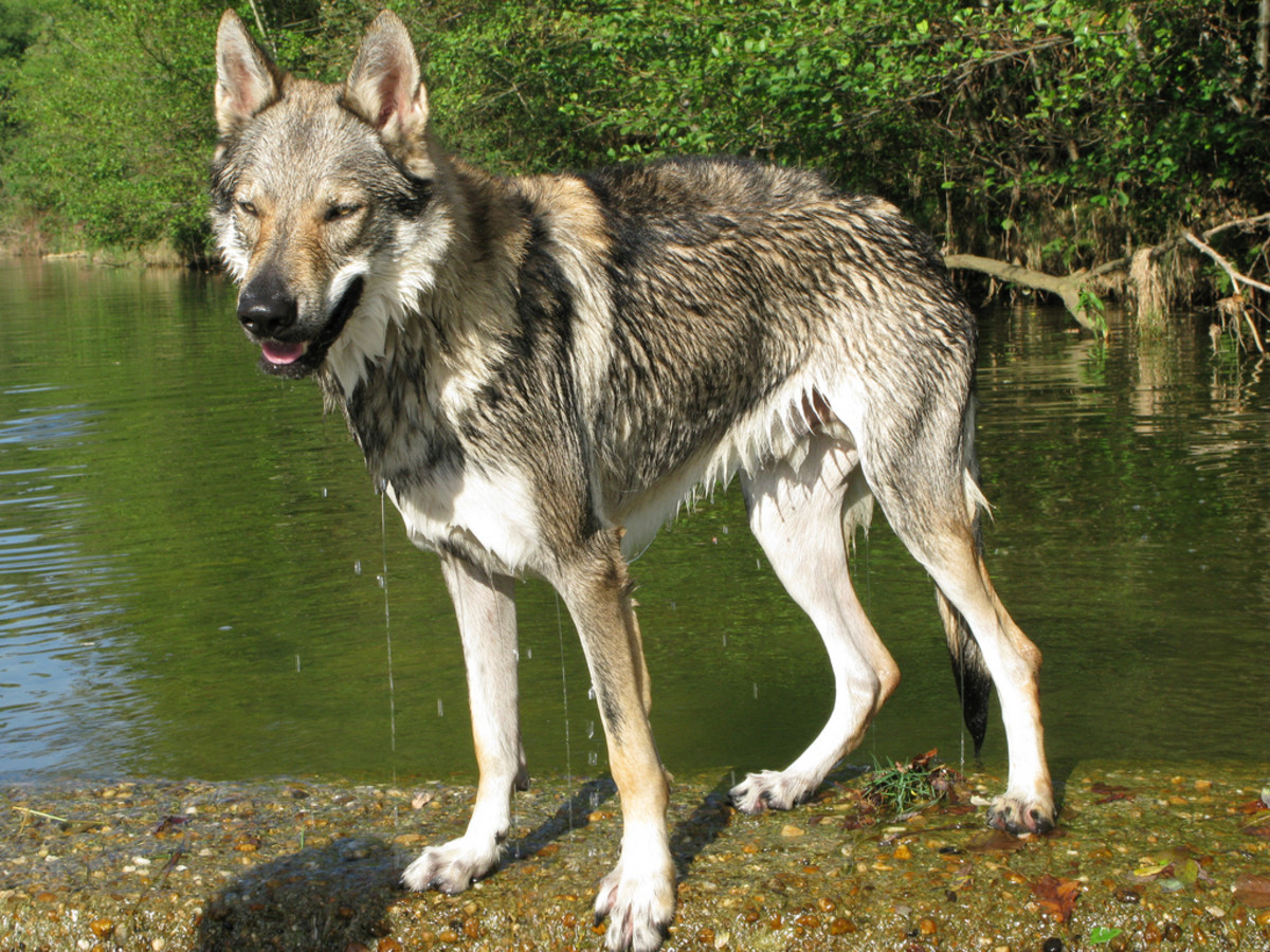 11 Dogs That Actually Look Like Wolves (Not Huskies