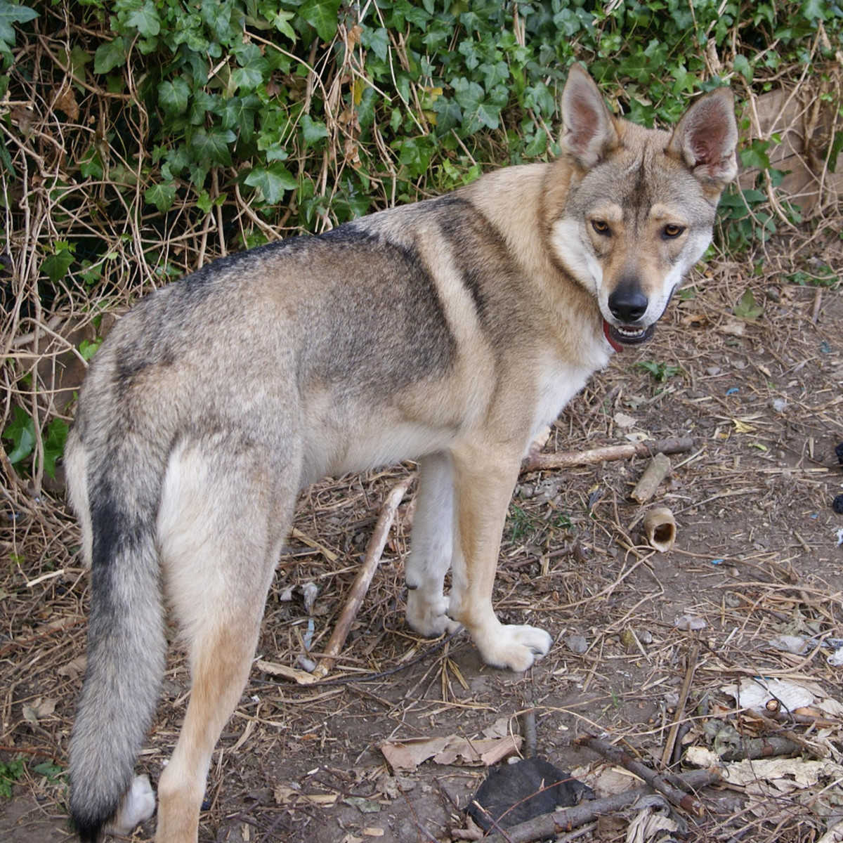 11 Dogs That Actually Look Like Wolves (Not Huskies) | PetHelpful