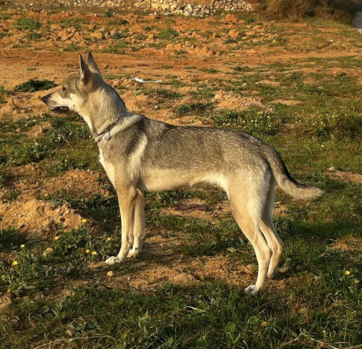 7-dog-breeds-bred-to-look-like-real-wolves