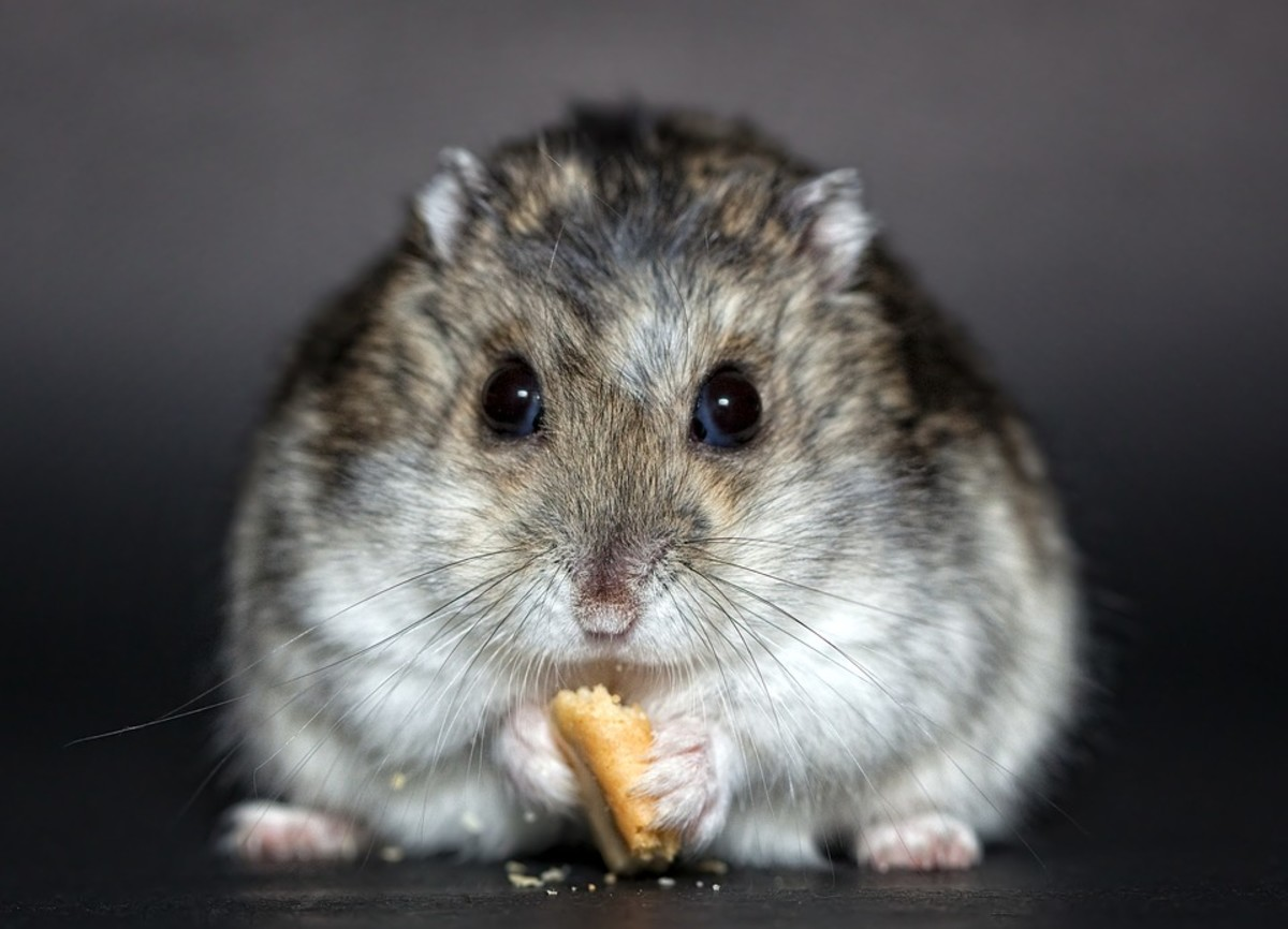 Offer your hamsters proper nutrition to keep them healthy.
