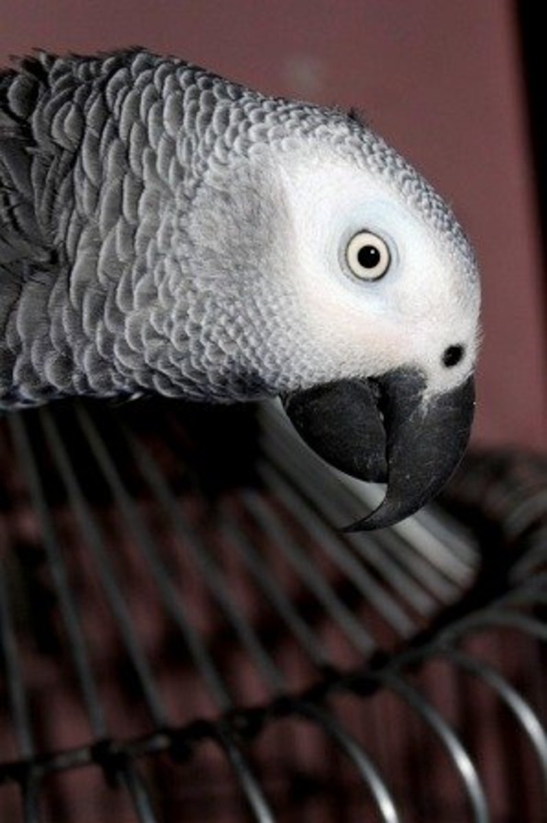 An African Grey parrot climbs to the top of its cage to avoid having to go inside when told to.