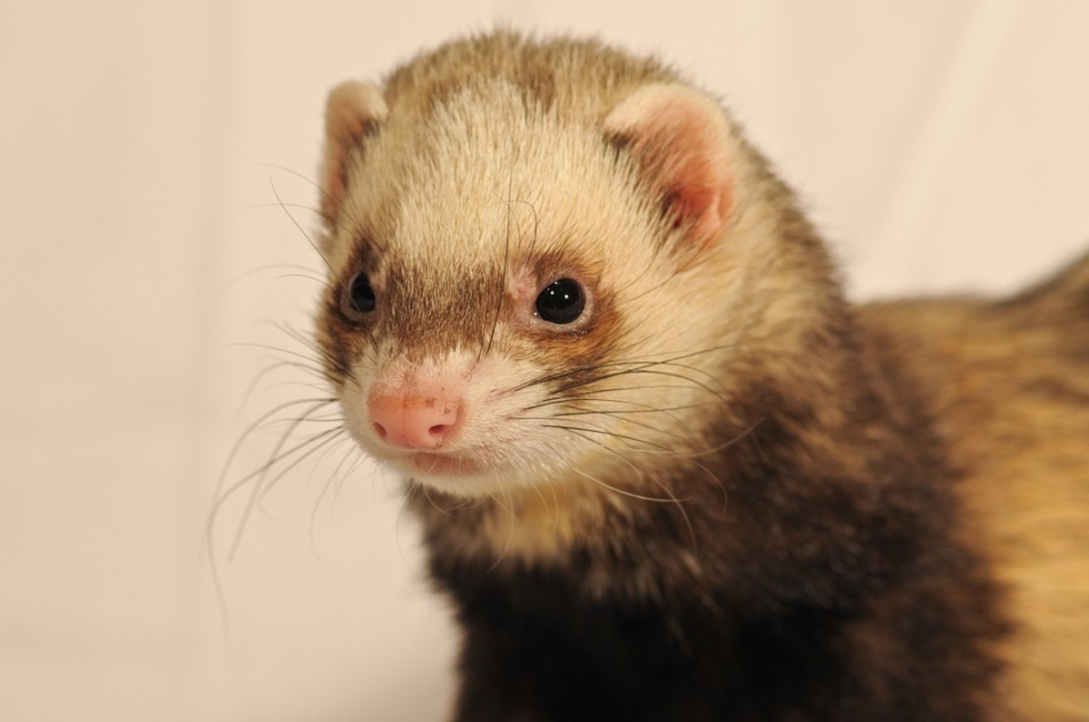 How to Choose an Angora Ferret