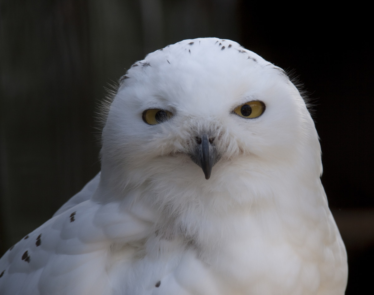 In the United States, you cannot own a snowy owl—or any other native owl—as a pet. They are federally protected under the Migratory Bird Treaty Act.