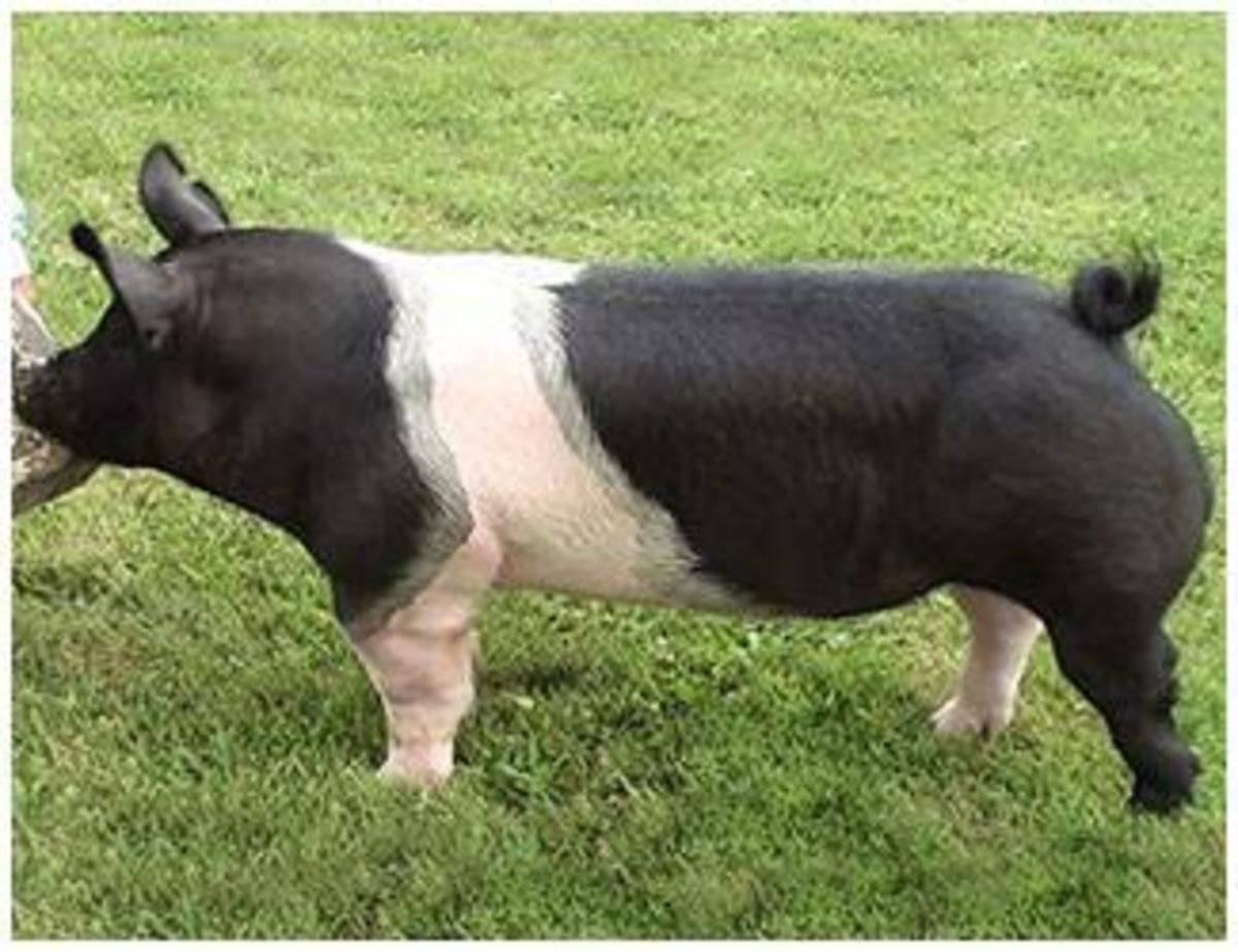 Hamps, or Hamspshire, is a breed of pig with black and white characteristics. We are partial to Hamps.