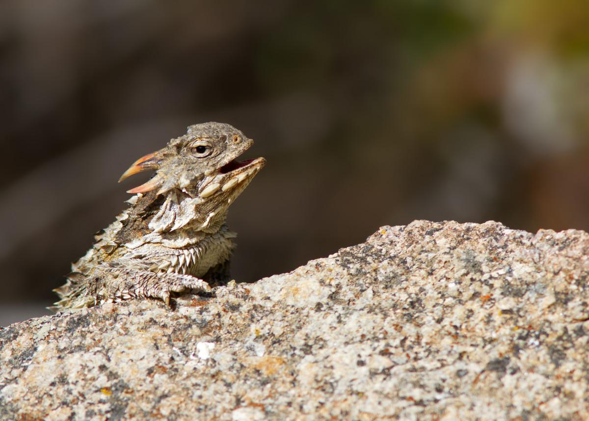 Coast Horned Lizard (Phrynosoma coronatum), California