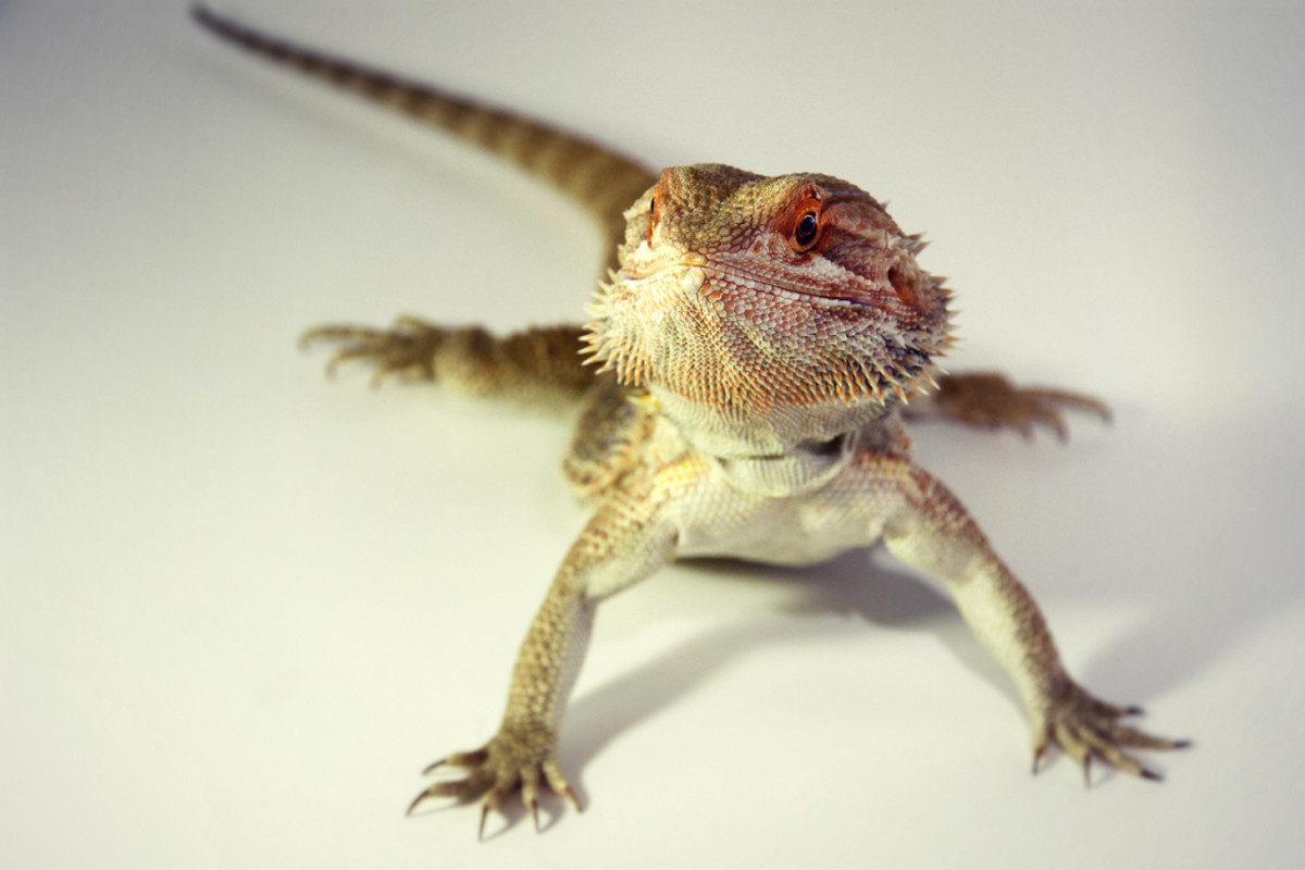 Bearded dragons may look rather fierce, but many of them actually have very mild personalities.