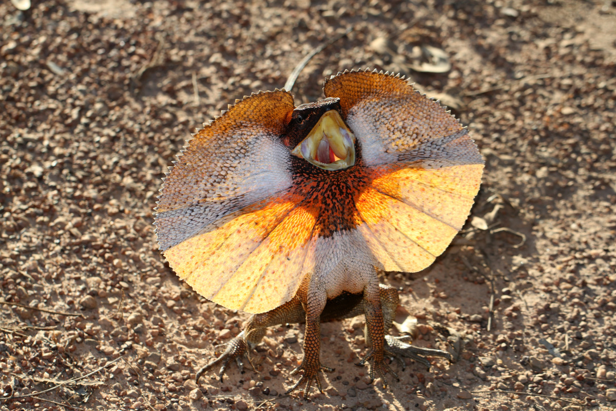 Frilled Dragon in Full Frill!
