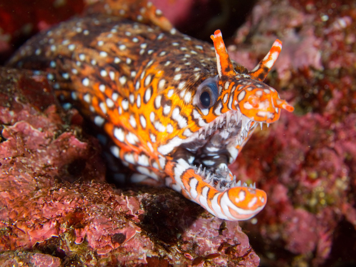 The fearsome dragon moray is not to be trifled with!