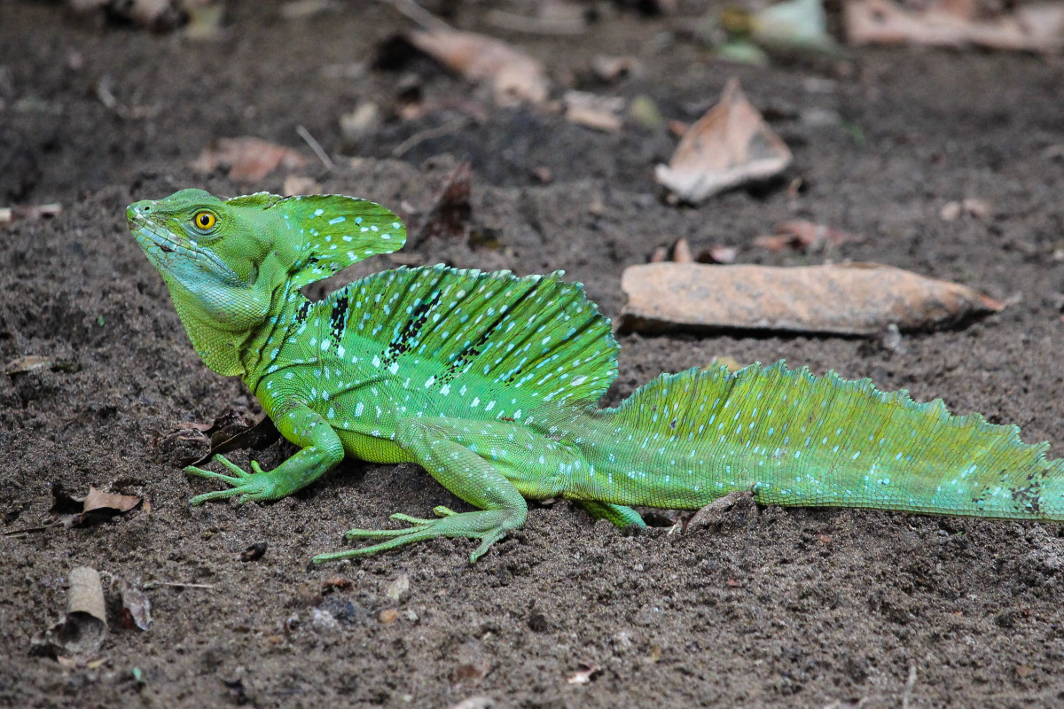 The Majestic Green Basilisk
