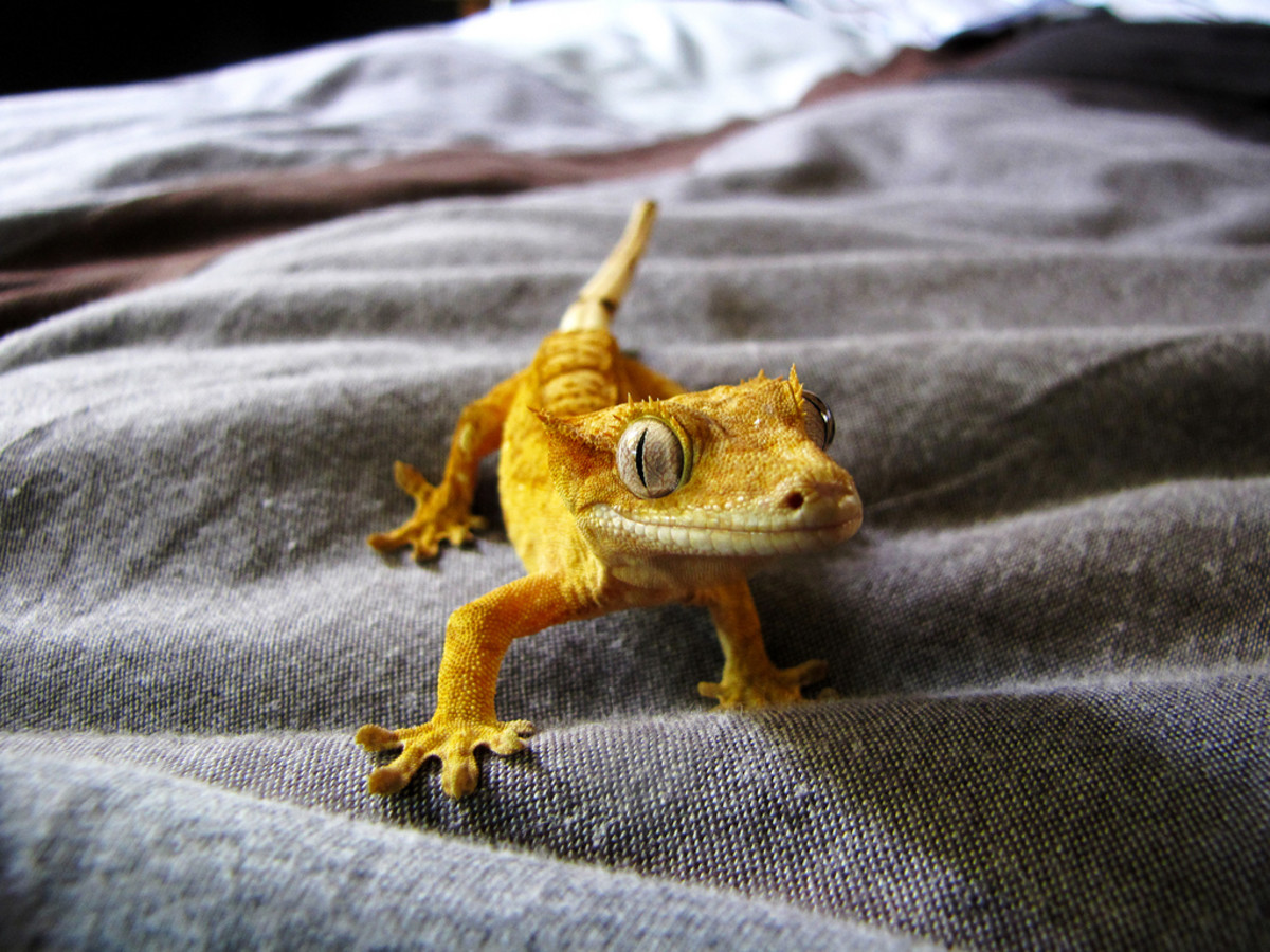 This cute little crested gecko can't stop smiling!
