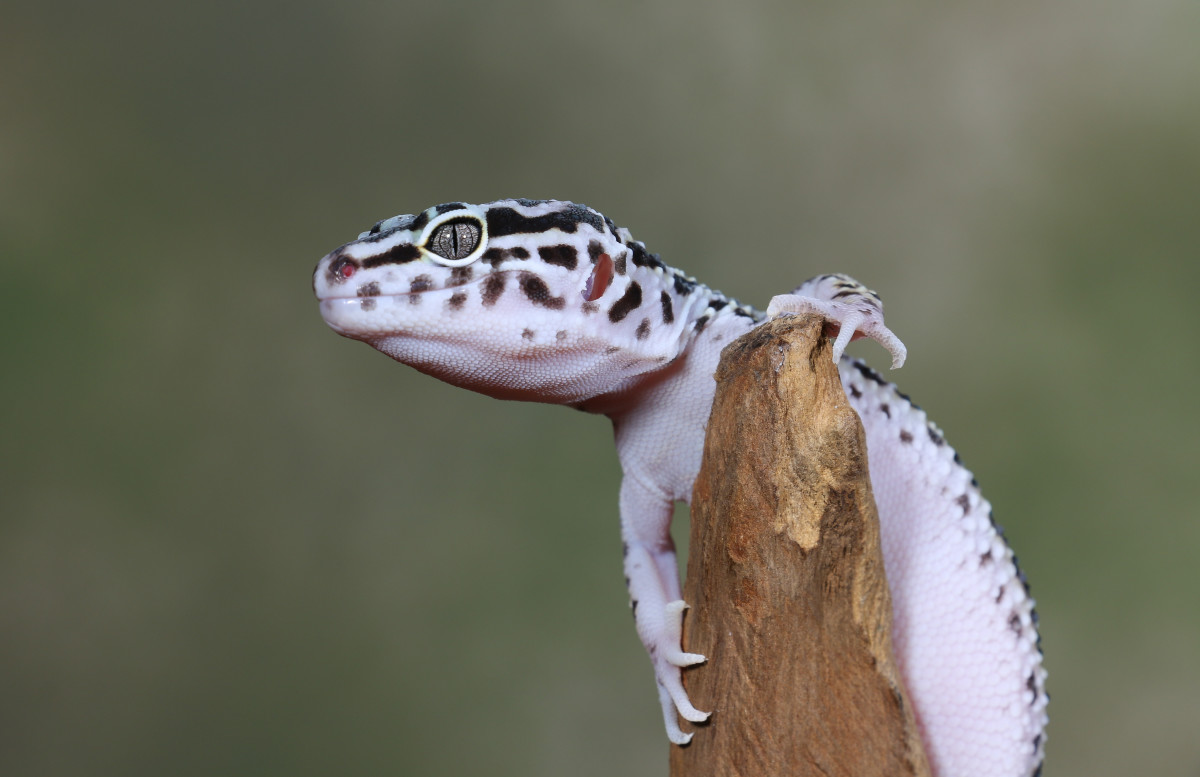 From this leopard gecko's fierce look, you'd never guess that the species tops out at 10 inches long!