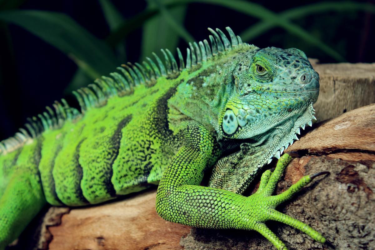 A Gorgeous Green Iguana