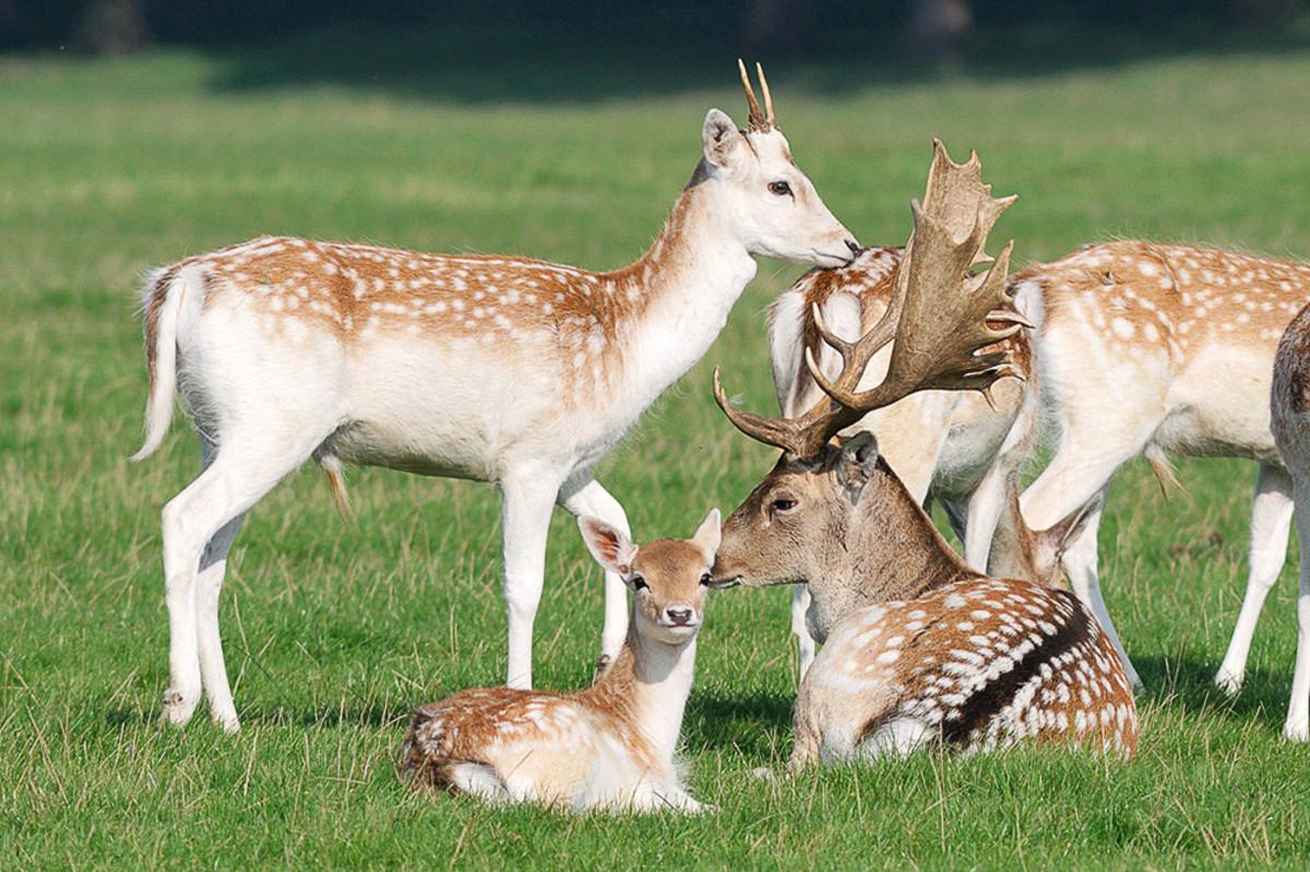 6 Deer Species That Are Kept as Pets | PetHelpful