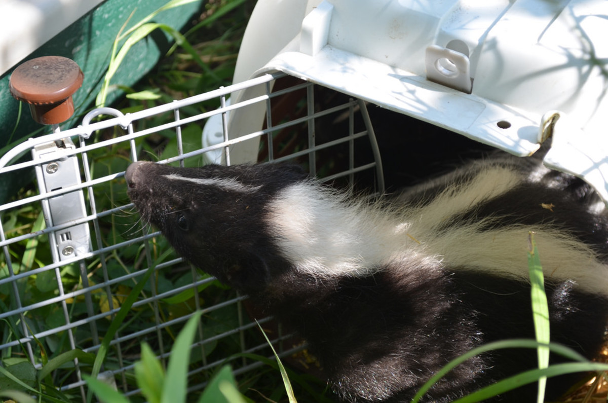 For an exotic mammal that's relatively uncommon skunks are low priced.