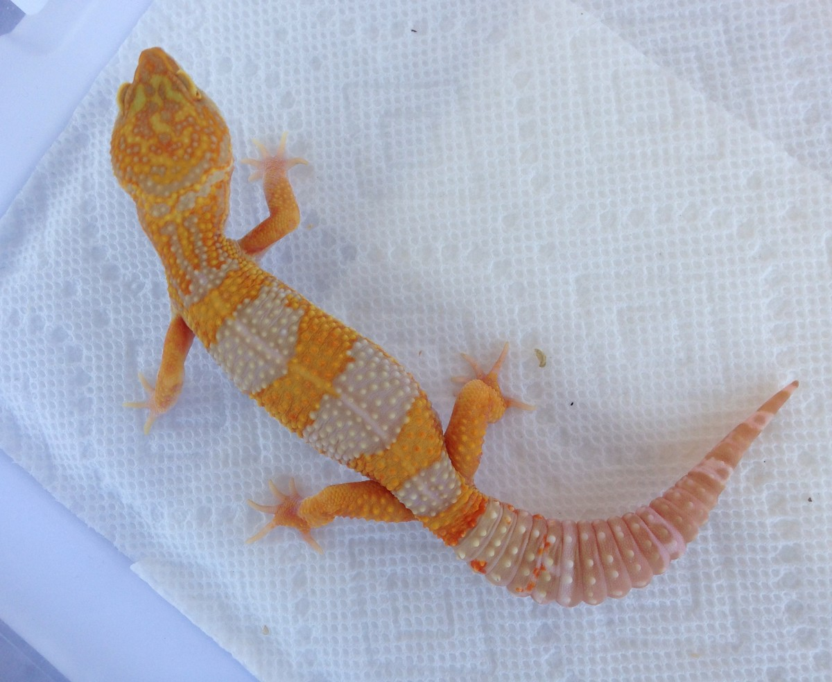 His gorgeous orange and lavender banding makes him a real eye-catcher!