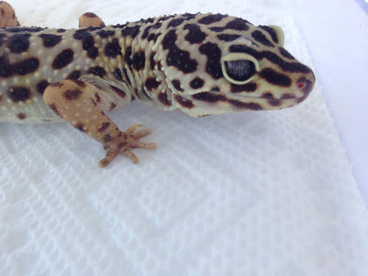 Annie is a now 20yo rehomed gecko I took in a few years ago. She is still very healthy and will live at least several more years with proper housing!