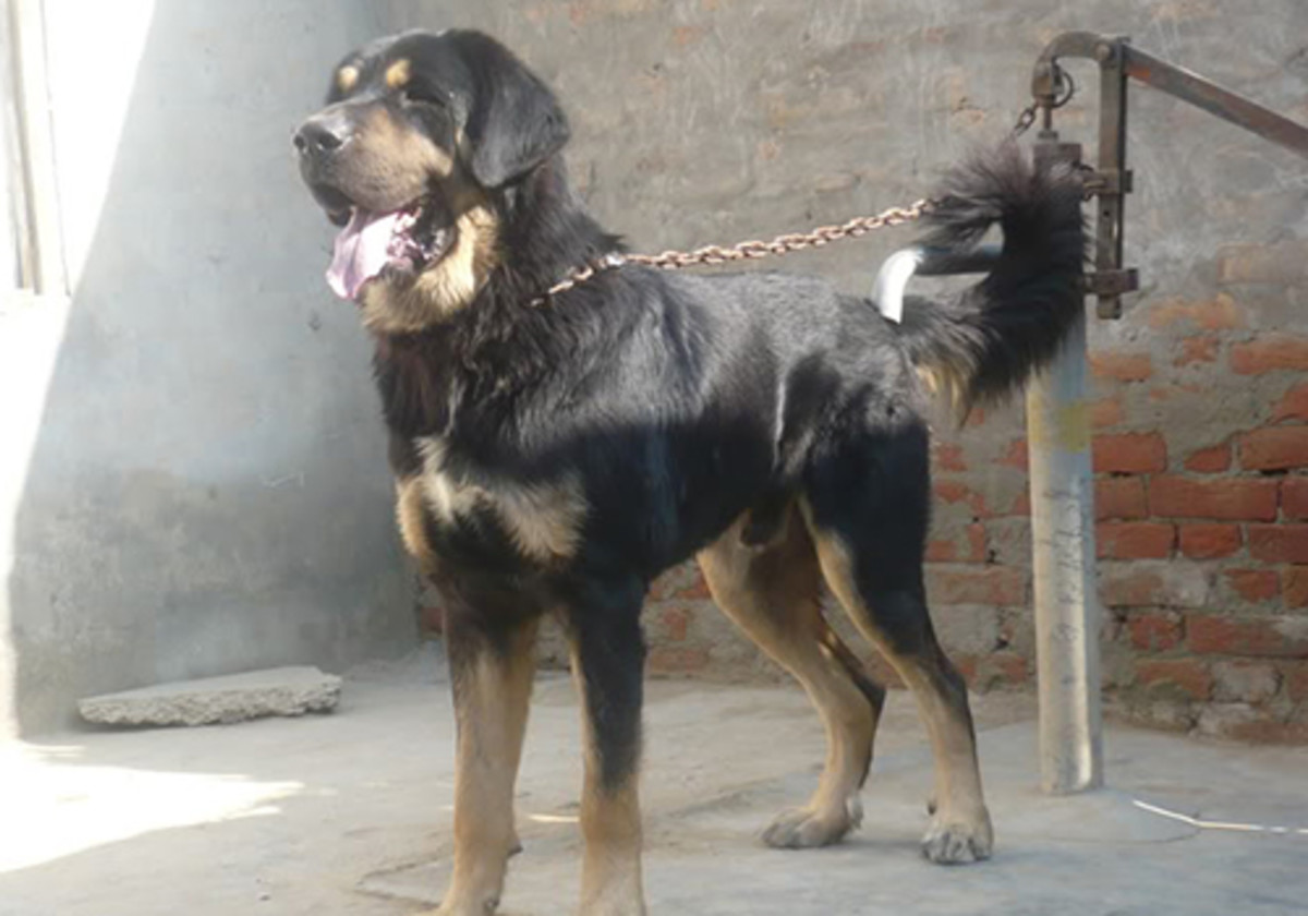 Indian Gaddi Dog