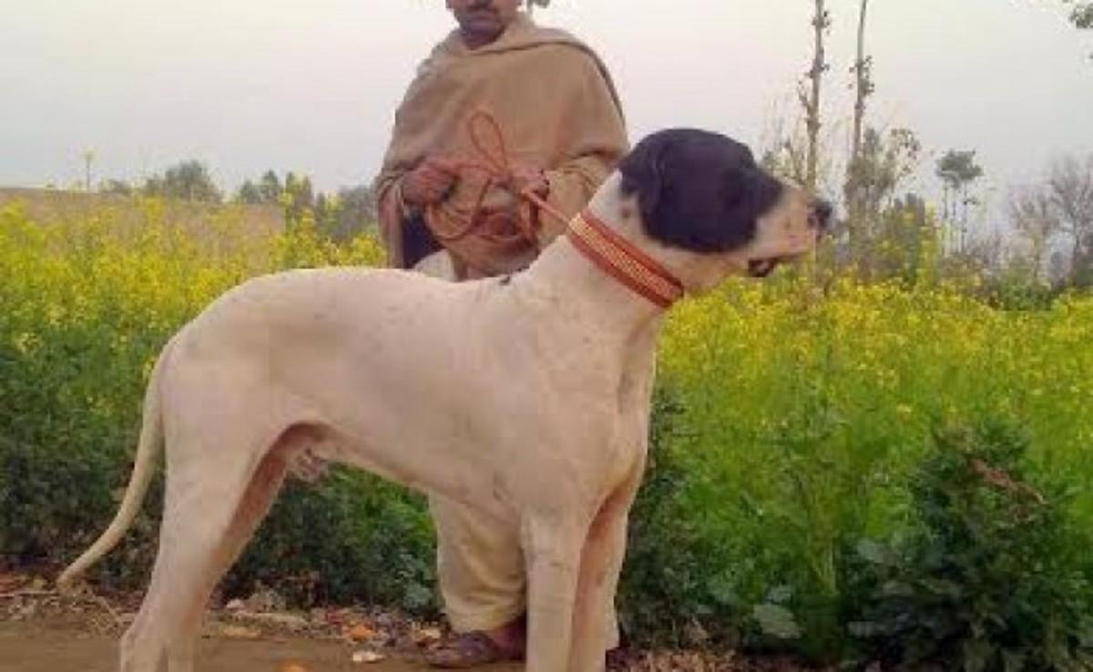 Indian Bully Kutta or Indian Mastiff or Alangu Mastiff
