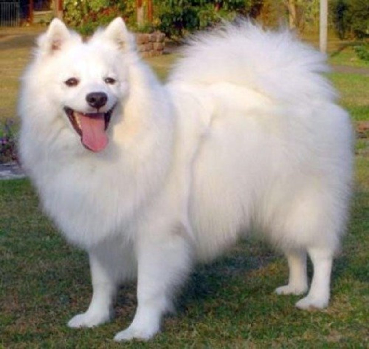 Top 20 Indian Dog Breeds Purchasing