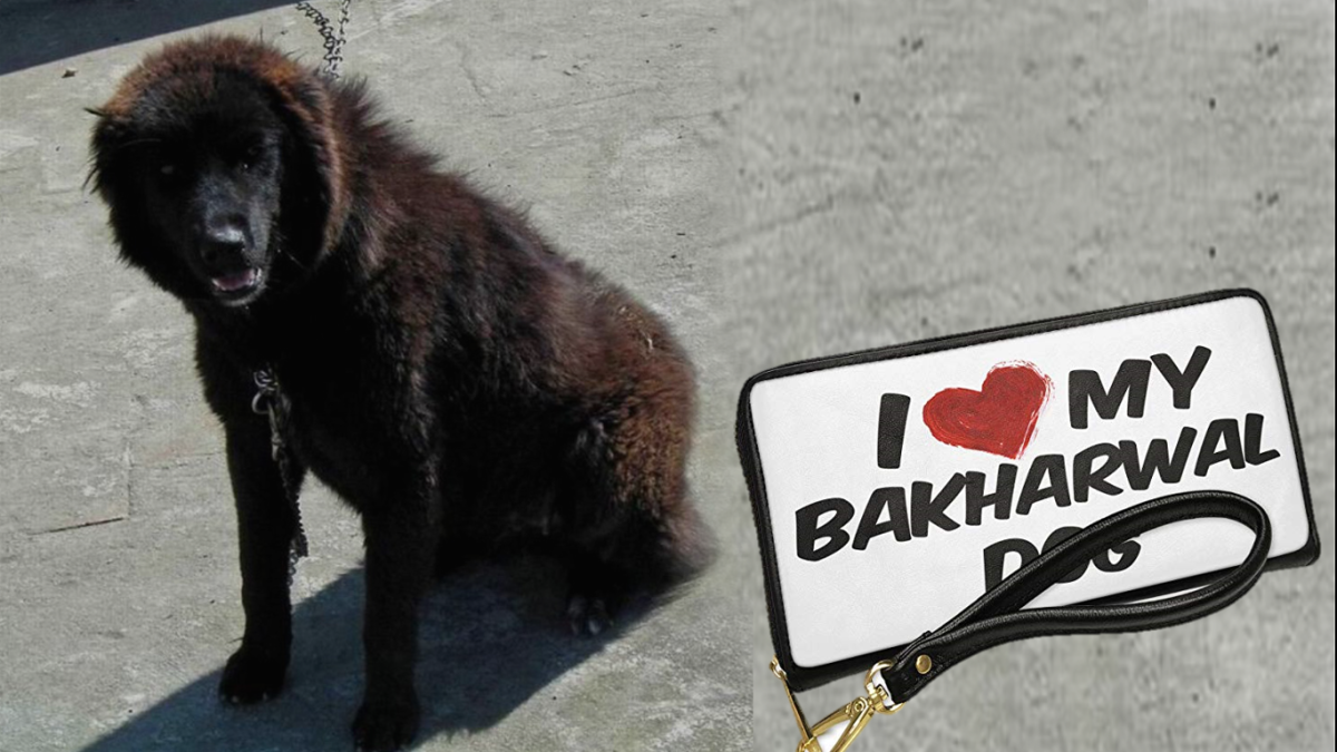 Bhakarwal Dog (Kashmiri Sheepdog or Indian Sheepdog)