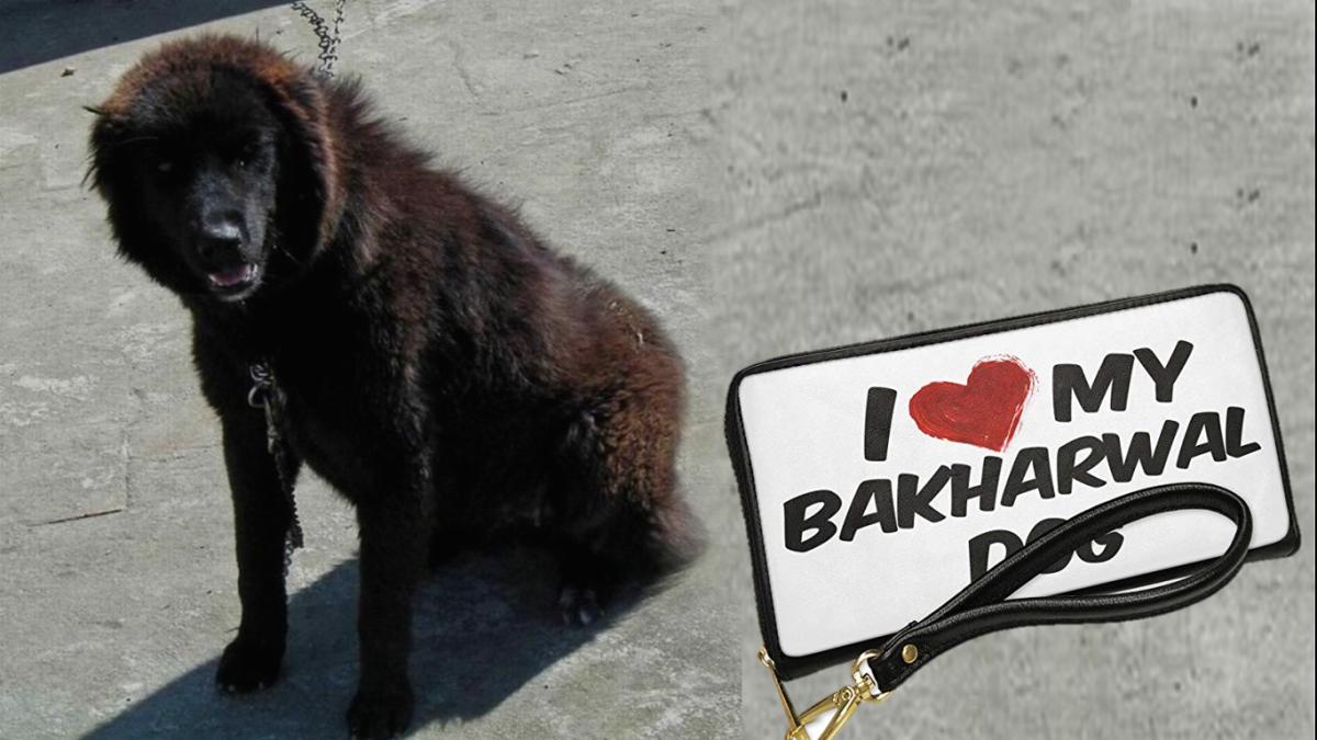 Bhakarwal Dog (Kashmiri Sheepdog or Indian Sheepdog)
