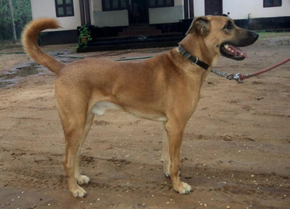 Kombai or Combai Dog