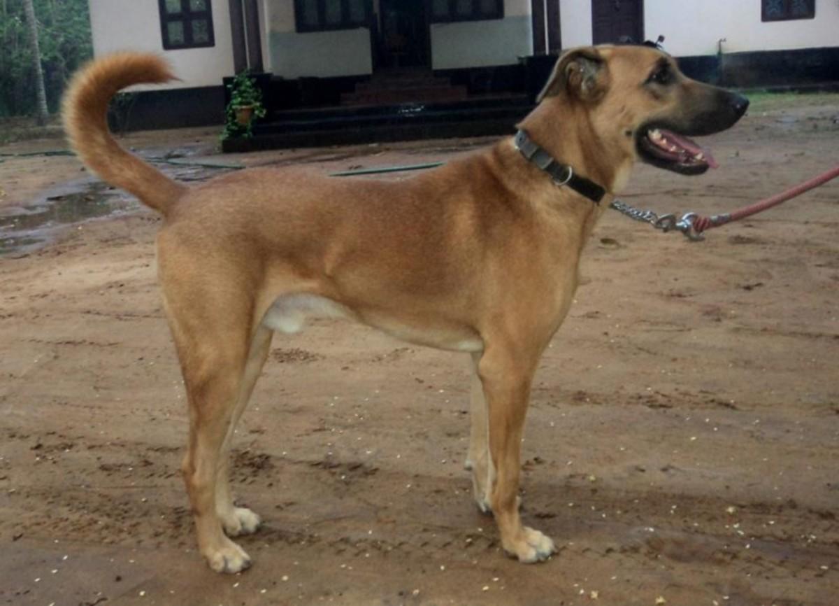 Kombai or Combai Dog