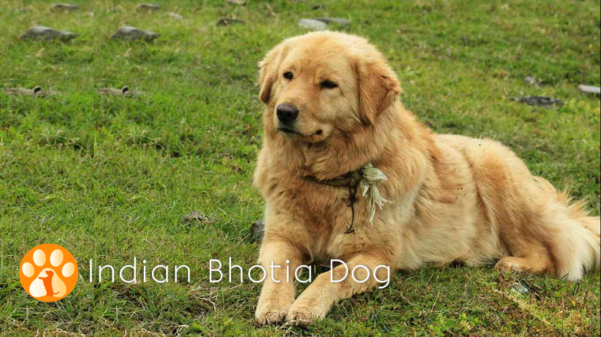 Indian Bhotia Dog
