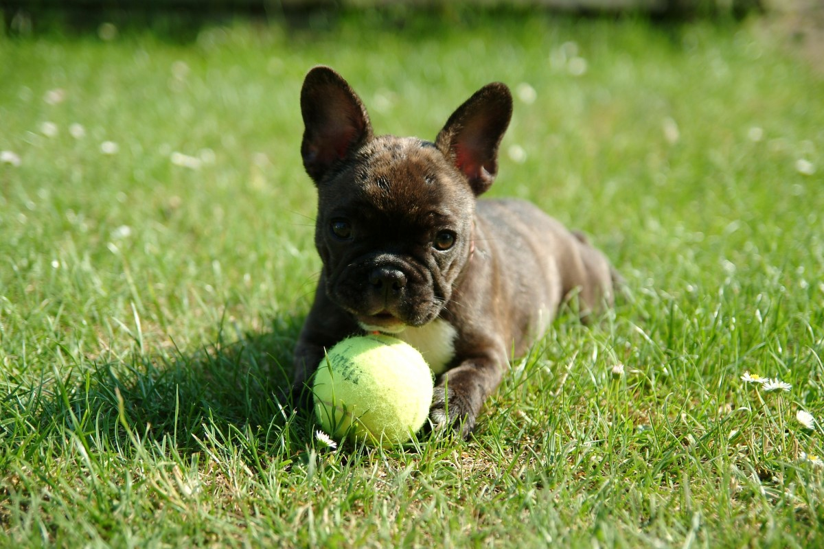 What You Need To Know About Feeding Your French Bulldog Pethelpful