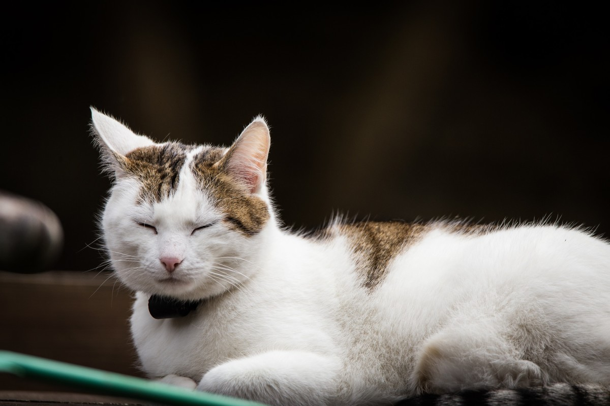 Even though this cat looks like it's sleeping, notice how the ears are turned in different directions. When a cat naps, they are still very much aware of their surroundings.