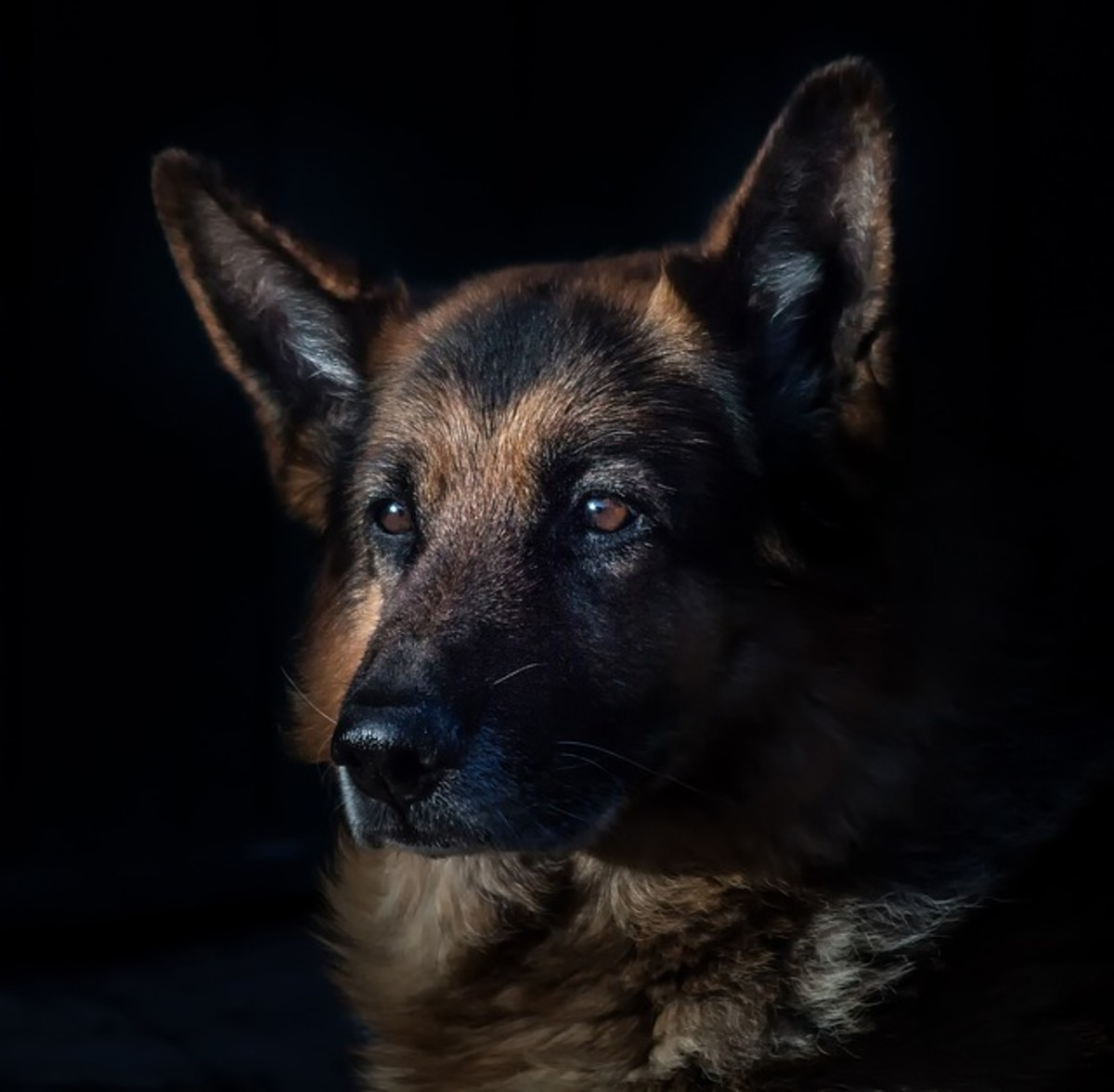Caring for Older German Shepherds