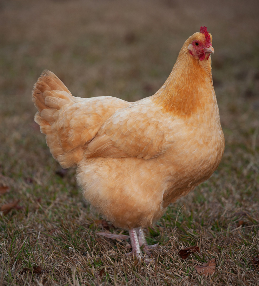 Buff Orpington hen.